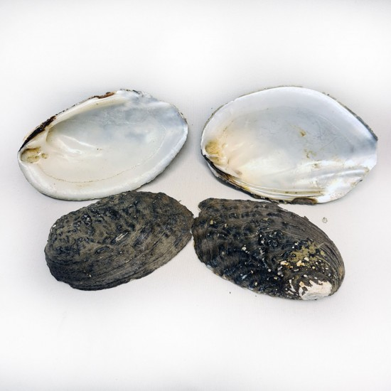 Kabibi Small Kiloluk Deniz Kabuğu (1 KG)