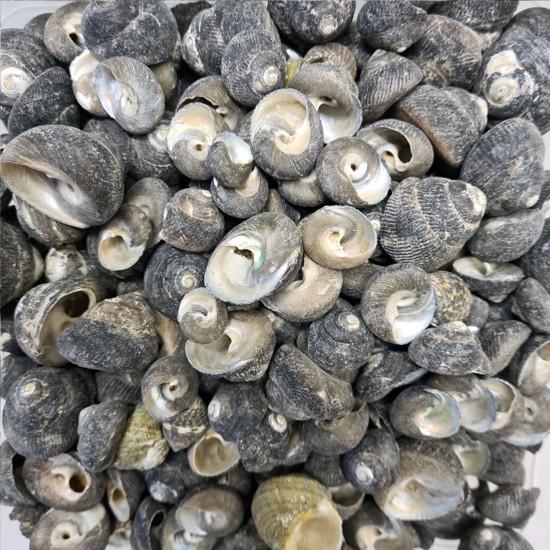 Moonshell Umbinium Kiloluk Deniz Kabuğu (1 KG)