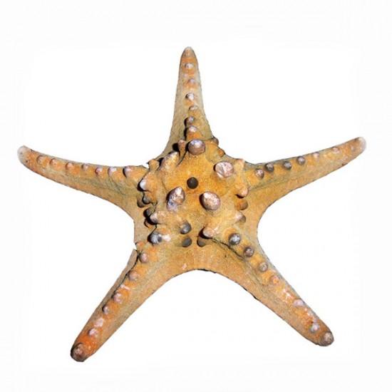 Deniz Yıldızı-Ph 5-7 / 2 Renk