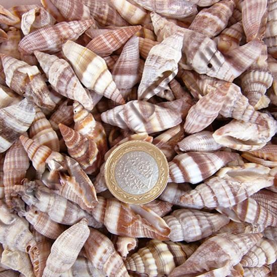 Mitra Sanguisuga Kiloluk Deniz Kabuğu (1 KG)