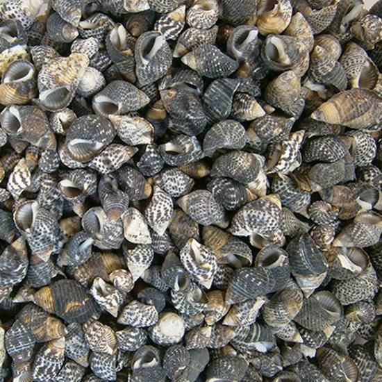 Nassarius Gaudiosus Kiloluk Deniz Kabuğu (1 KG)
