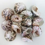 Troca Male Kiloluk Deniz Kabuğu (1 KG)