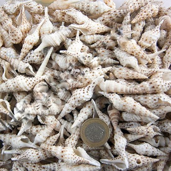 Turis Babylonia Kiloluk Deniz Kabuğu (1 KG)